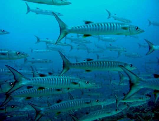 Barracudas in secca del toro